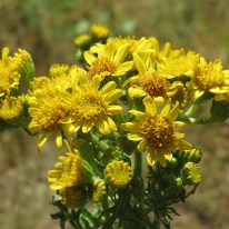 Sun Damage : Ragwort
