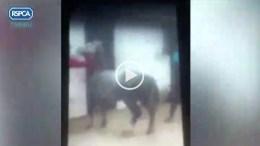 pony cruelty video