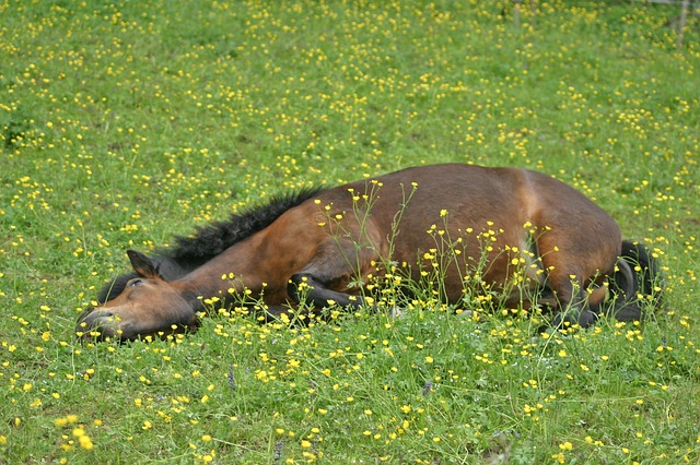 Horse Health - What to do if you Suspect Colic