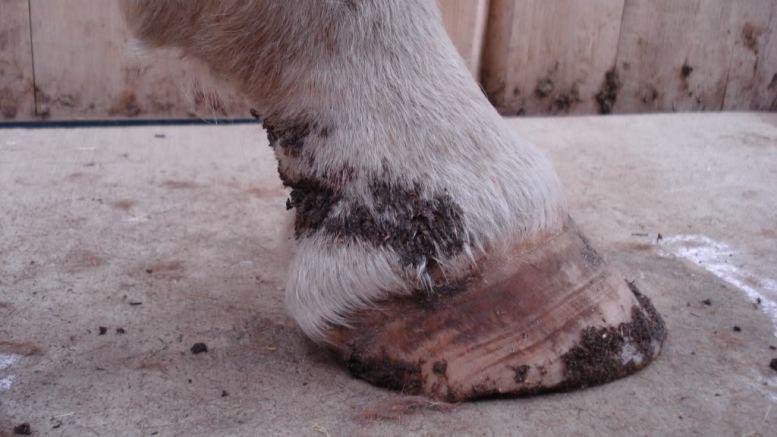Mud Fever Explained - Everything Horse