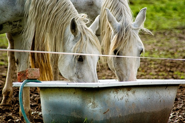 Horses drinking from a bath