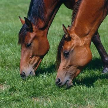Equine Influenza update Horses grazing (MSD owned)