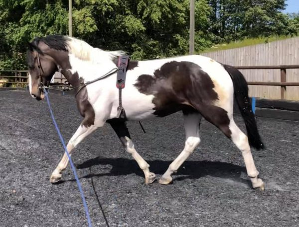 Lunging a horse top tips and non riding exercises with Everything Horse. image credit SG Sports Horses