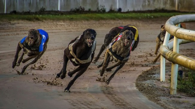 The Similarities and Differences Between Horse and Greyhound Racing