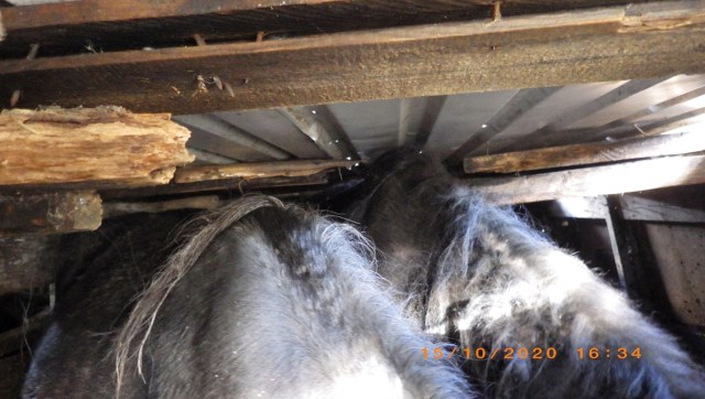 Man banned for life after keeping 40 horses in 'horrendous conditions'
