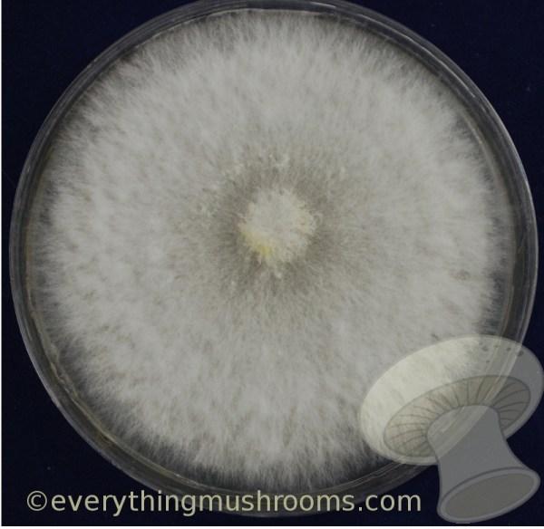Pleurotus pulmonarius : Phoenix Oyster Mushroom - culture in slant or petri dish