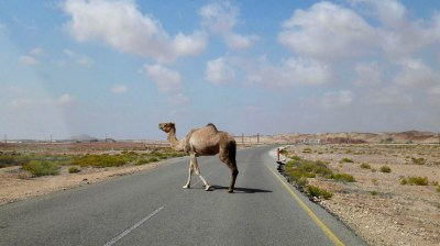 Kamel geht auf Straße in Ras al Jinz im Oman