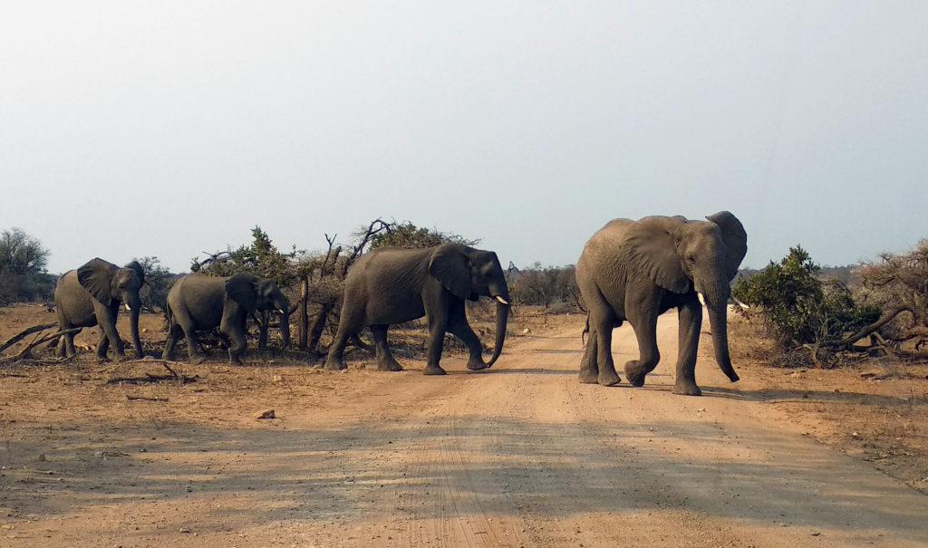 Elefantenherde überquert Strasse