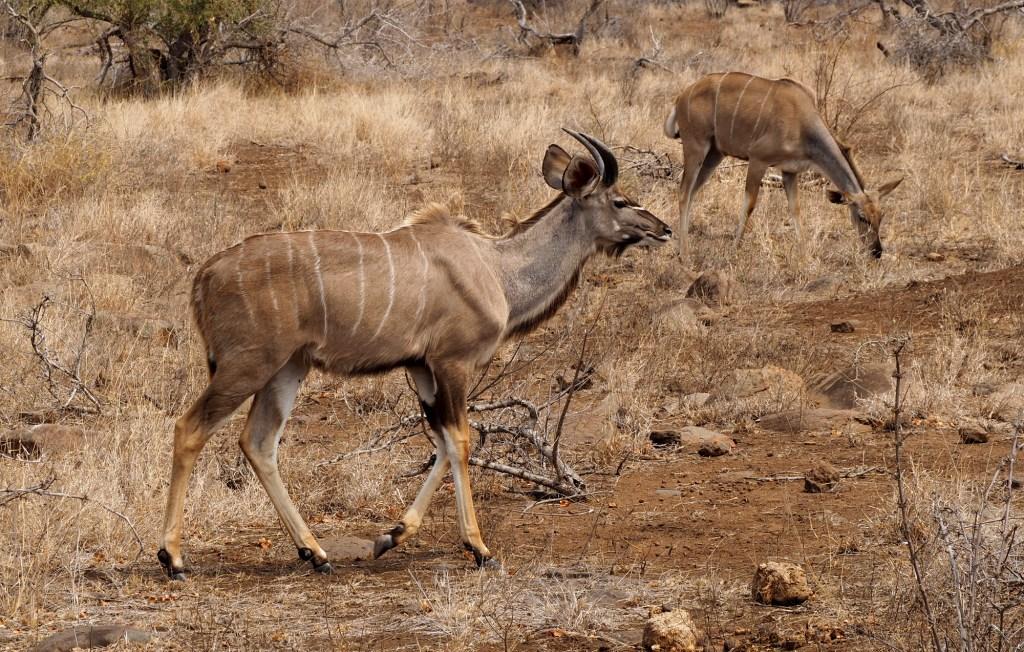 Nyalas im Kruger NP