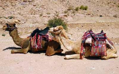 Kamele in Petra, Jordanien