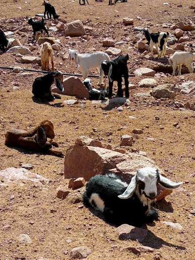 Ziegen-im-Wadi-Dana