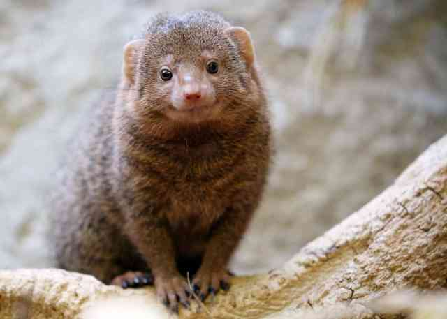 Image result for stop mongoose killing