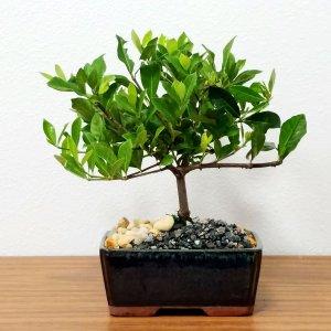 Small Gardenia Bonsai Tree