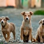 Λειβαδιά Αδέσποτα σκυλιά