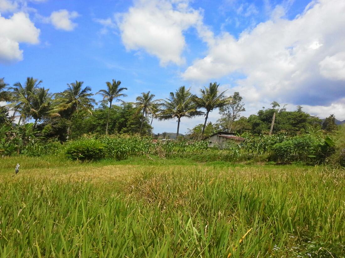 Foto sawah hijau dengan langit biru awan putih di Banto