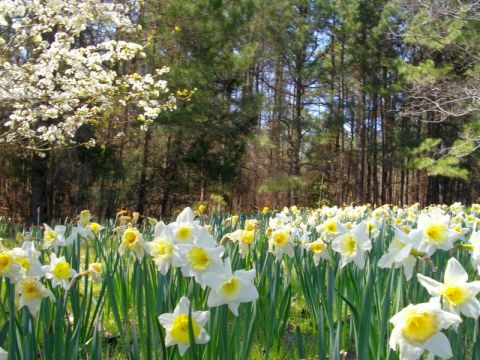 Meadow with blooming daffodils