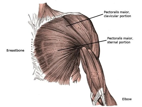 anatomy of the chest muscles