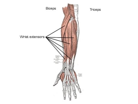 anatomy of wrist extensor muscles
