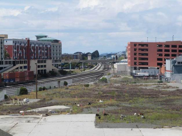 city-grazing-goats-emeryville-04