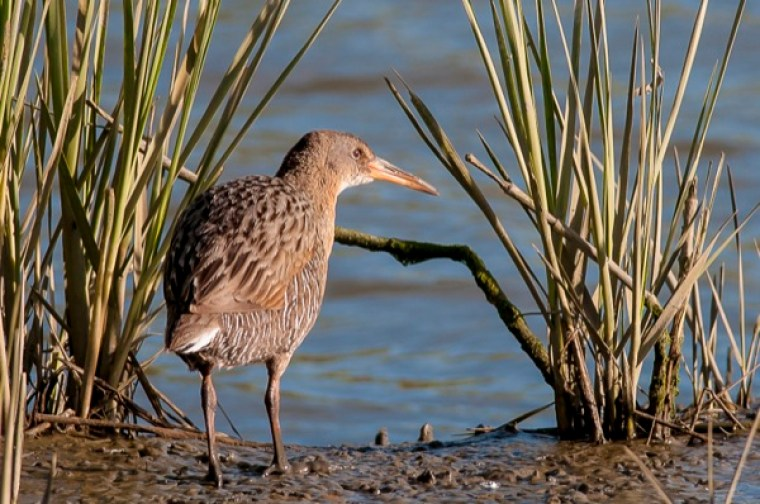 A California Clapper Rail stands beside invasive Spartina, a salt marsh cordgrass, at Garretson Point in San Francisco Bay. The endangered bird is threatened by both the removal and existence of the invasive plant.
