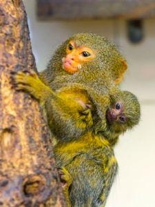 76477510 - pygmy marmoset baby - callithrix or cebuella pygmaea