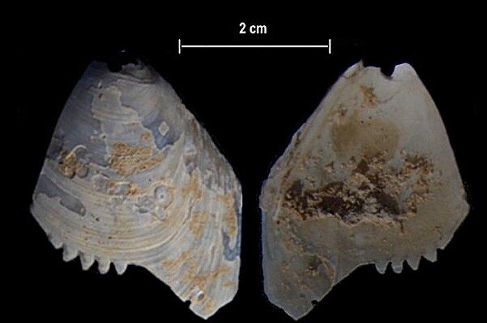 Артефакт из зазубренной раковины со станции Calperum в регионе Риверленд в Южной Австралии. Артефакт из перфорированной раковины со станции Calperum в регионе Риверленд в Южной Австралии. Предоставлено: Университет Флиндерса.