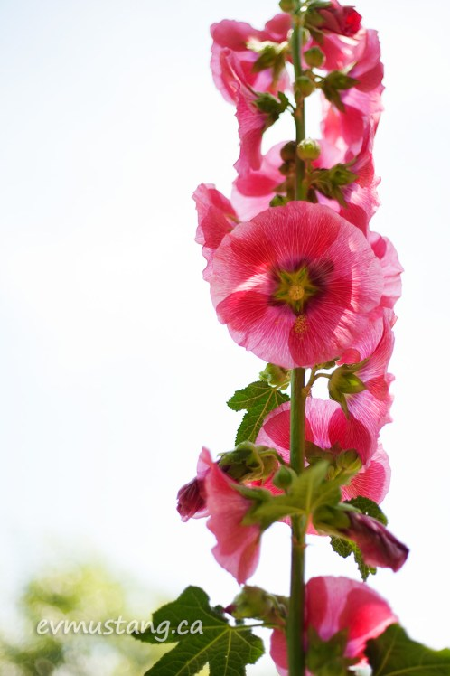 image of a bright pink hollyhock against a bright sky
