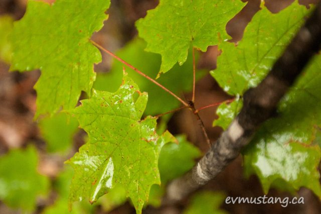 close up image of maple seedling