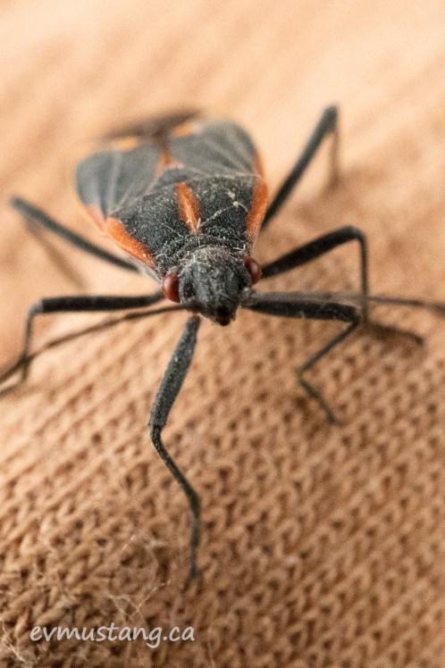 macro image of a box elder beetle