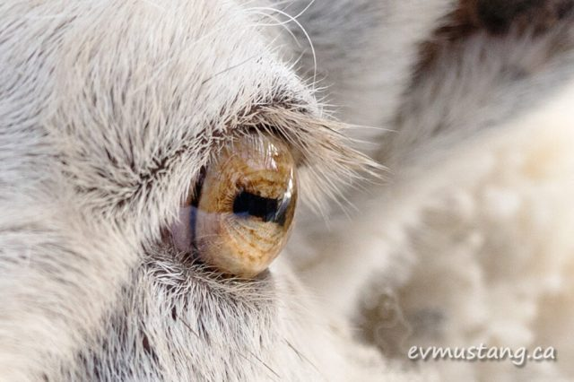 macro closeup of clover the ram's eye