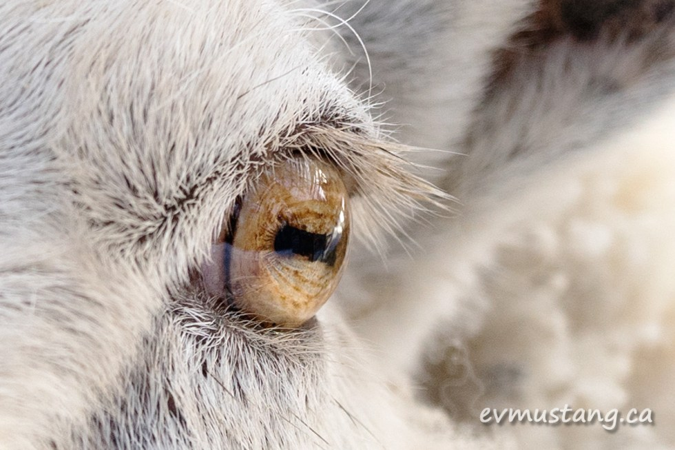 macro closeup of clover the ram's eye