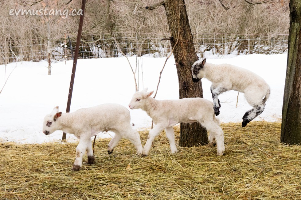 image of three lambs gambolling in their pasture
