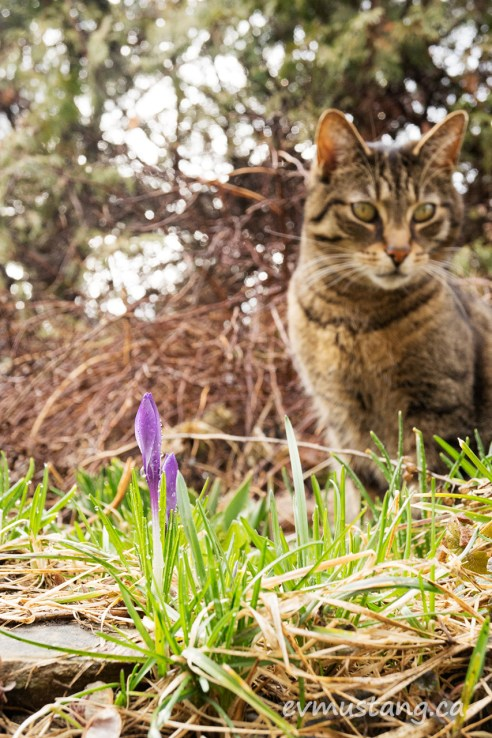image of crocus bud with tesla the cat in the background