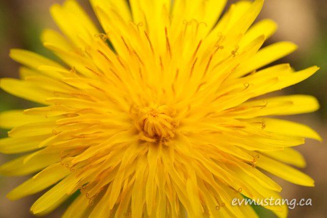 close up image of a dandelion rosette