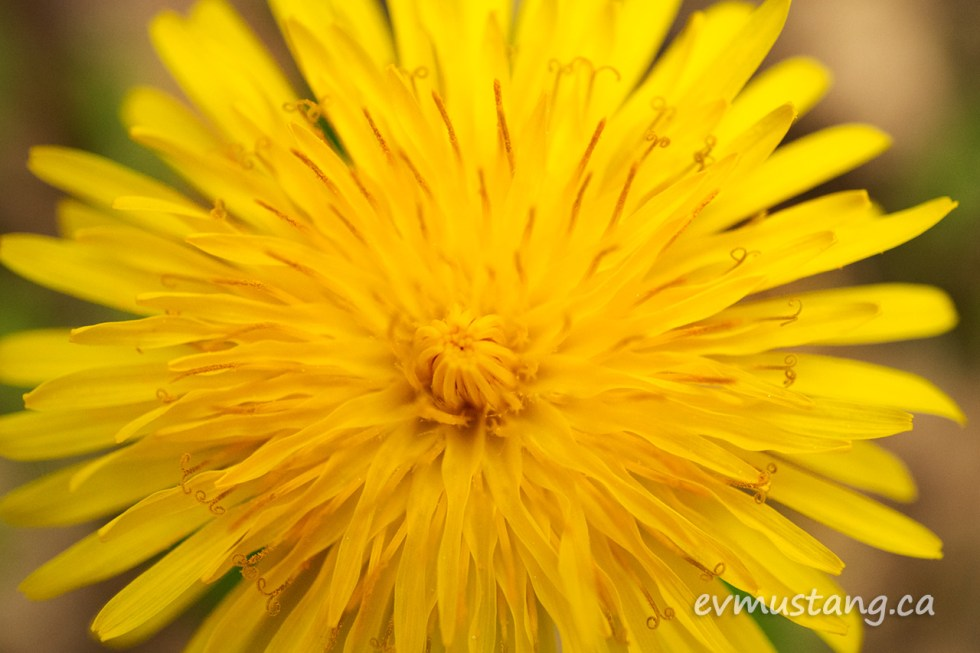 close up image of a dandelion rosette