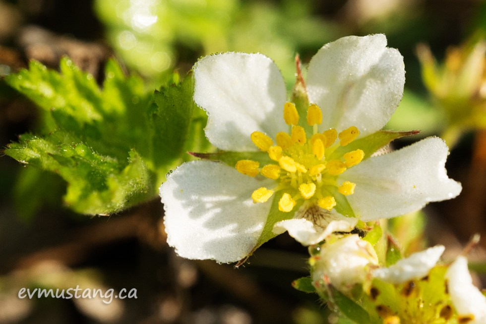 close up image of a strawberry floret in the early morning sun with dew on the tips of thepetals