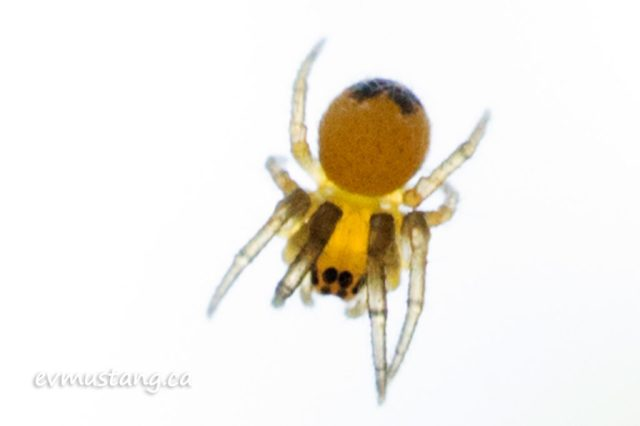 close up image of cross spider hatchling