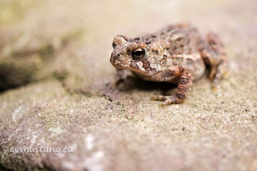 close up image of american toad on a matching rock