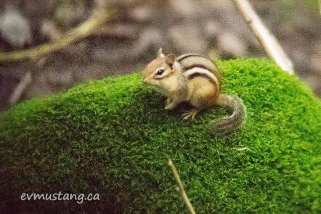 image of chipmunk sitting on a patch of bright green lichen