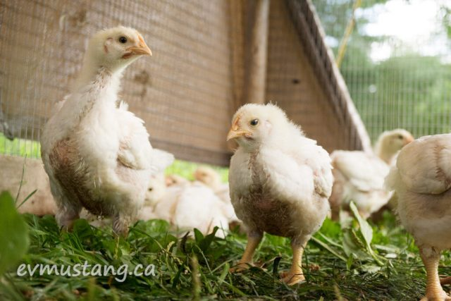 image of two chubby, white feathered young chicks