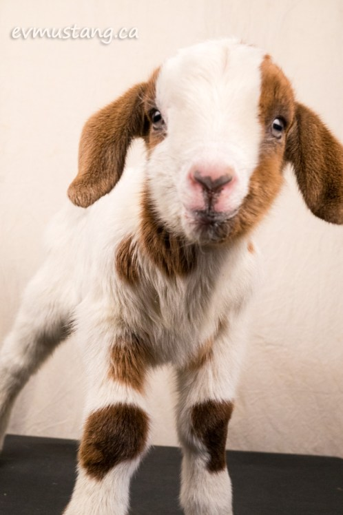 image of baby goat looking at camera with curiosity