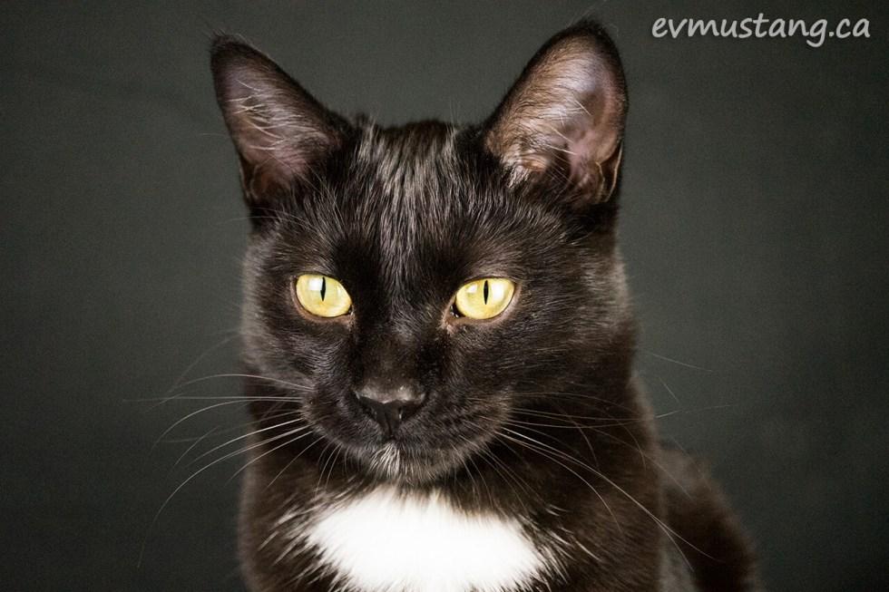 stately portrait of lefty the little black kitten