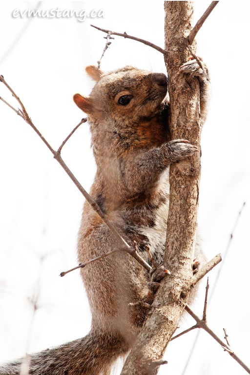 image of squirrel looking suspiciously at the camera while paused in climbing up a slender branch