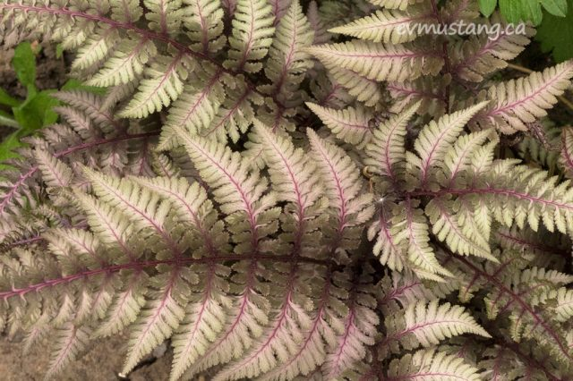 image of a japanese fern showing fractal like fronds with deep purple stems that blend through deep olive green to almost white. in the middle, there is a tiny dandelion seed puff balanced on one of the fronds.