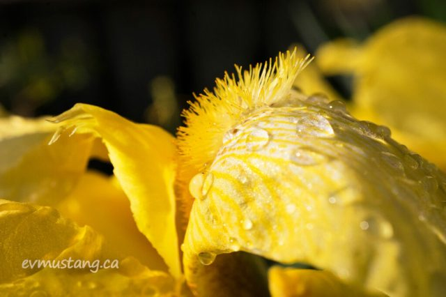 image of the arc of the fall of a bright yellow iris, close up, from the side. the hairs of the beard is rising above the petals which are falling away and covered in droplets of rain water. it glows in the sunlight.