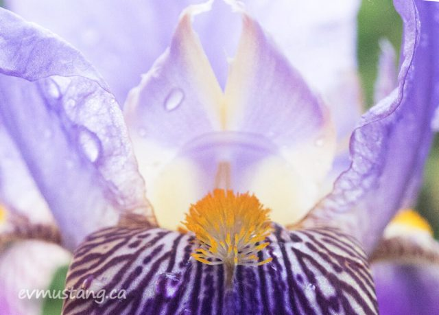 image of a light purple iris with translucent petals, glowing in the evening light. the mottled white and purple fall drops toward the viewer with the bright yellow beard rising up toward the centre.