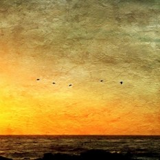 Pelicans at Sunset - Point Pinos