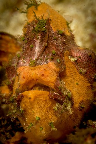 marble mouthed frogfish malapascua