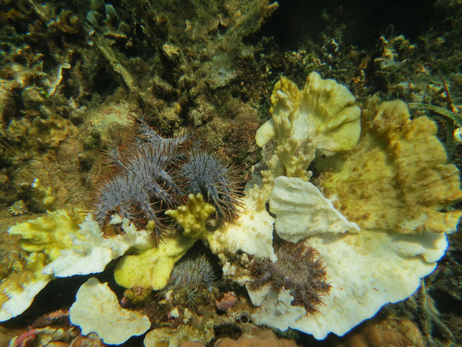 crown of thorns starfish philippines