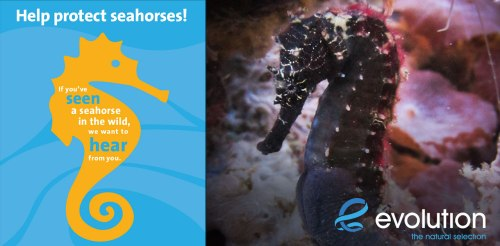 help protect seahorses evolution dive resort philippines